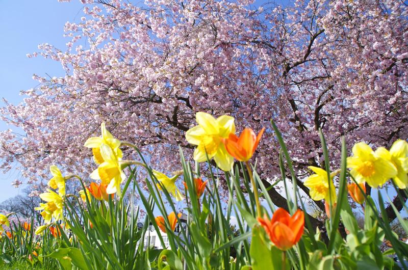 Sonniger Frühlingstag in Hamburg. Am Elbwanderweg in Teufelsbrück blühen Osterglocken und Tulpen und Kirschblüten.