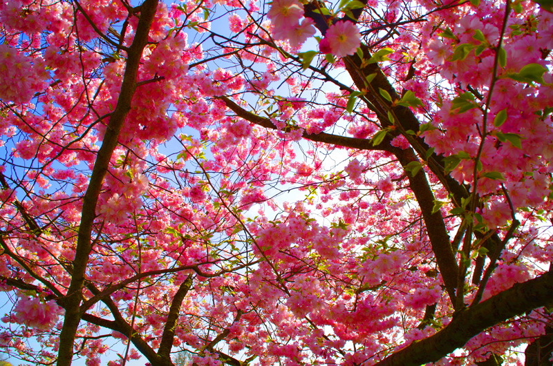 Blühende Kirscblüte am Elbwanderweg in Hamburg.