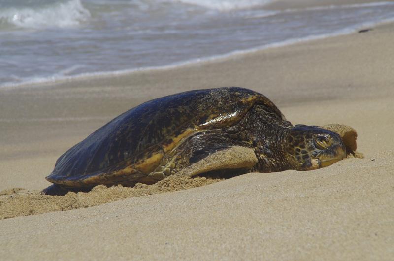 Am Hookipa Beach auf Maui, Hawaii, ist ein Abschnitt für die Grüne Meeresschildkröte reserviert.