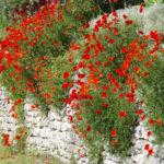 Klatschmohn blüht an einer Mauer in dem kleinen Ort Boux in der Provence.