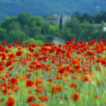 Klatschmohn blüht auf einem Feld in der Provence.