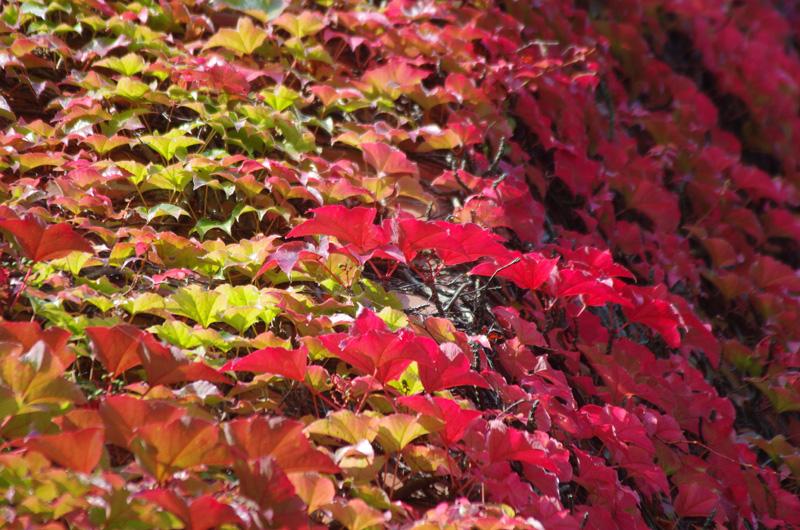 Wilder Wein in Herbstfarben an der Fassade der Alten Post in der Schlüterstraße in Hamburg.