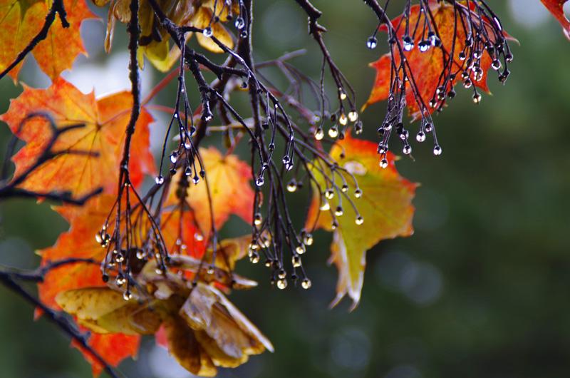 Nasser Oktoberanfang: Tropfen an kahlen Ästen, dahinter verfärbtes Laub.